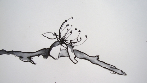 Blackthorn drawn by carys davies